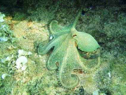 Unterwasserfoto von einem Kraken